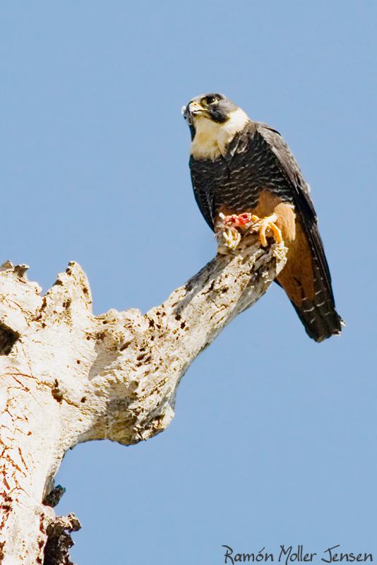 Falconiformes. sub Falconidae - sub fam Falconinae - gênero Falco - Página 2 207-Halcn-Negro-Chico-Falco-rufigularis-Bat-falcon-2