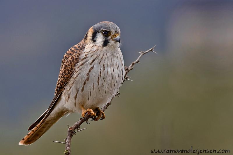 Falconiformes. sub Falconidae - sub fam Falconinae - gênero Falco - Página 3 208-Halconcito-Colorado-Falco-sparverius-12-VGB-may08