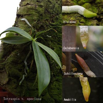 Quelques sites intéressants (Phalaenopsis) RootSP