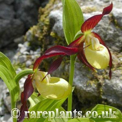 Hoa gieo tứ tuyệt 3 - Page 10 Cypripedium-calceolus5-comp