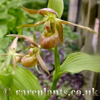 Hoa gieo tứ tuyệt 3 - Page 15 Cypripedium-shanxiense-comp
