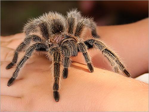عناكب الجمال في العراق Tarantula
