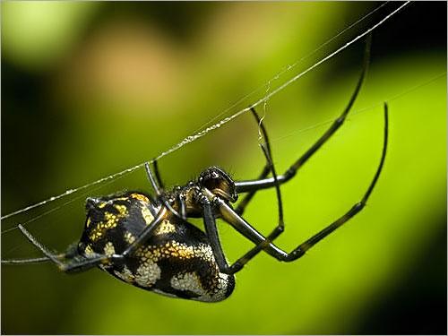 عظمة الخالق في خيوط العنكبوت .. Spp