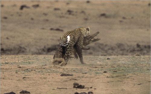 معررركة شرررسة بين الفهد و التمساح (بالصور) ..! 0