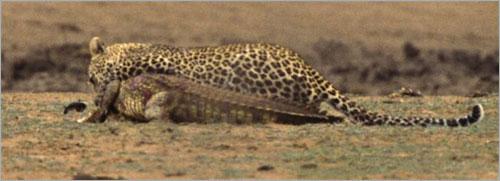 معررركة شرررسة بين الفهد و التمساح (بالصور) ..! 2