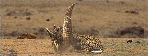 معررركة شرررسة بين الفهد و التمساح (بالصور) ..! 4
