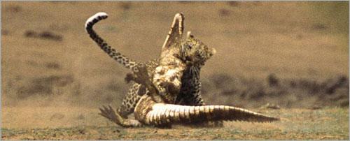 معررركة شرررسة بين الفهد و التمساح (بالصور) ..! 5