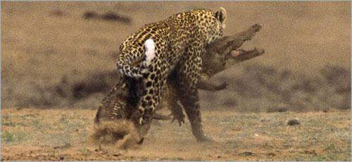 معررركة شرررسة بين الفهد و التمساح (بالصور) ..! 7