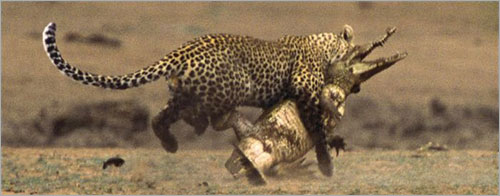 معررركة شرررسة بين الفهد و التمساح (بالصور) ..! 8