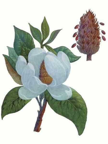 1 часть. Фриформ - примерочная.  - Страница 5 1267549459_magnolia-grandiflora