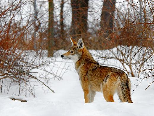 الموسوعة الكاملة للكلبيات Red_wolf