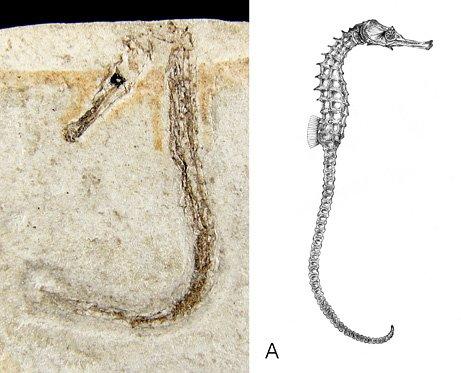 Fossil    الأحفورة    ..... الأحافير  Seahorsefossil