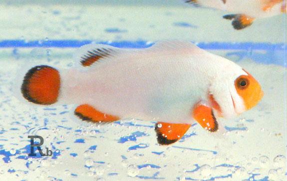 Nova espécie de peixe palhaço Wywhite1b