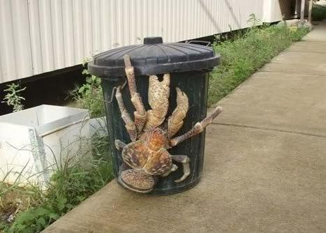 Bizarres ..... Animal_crabe_de_cocotier