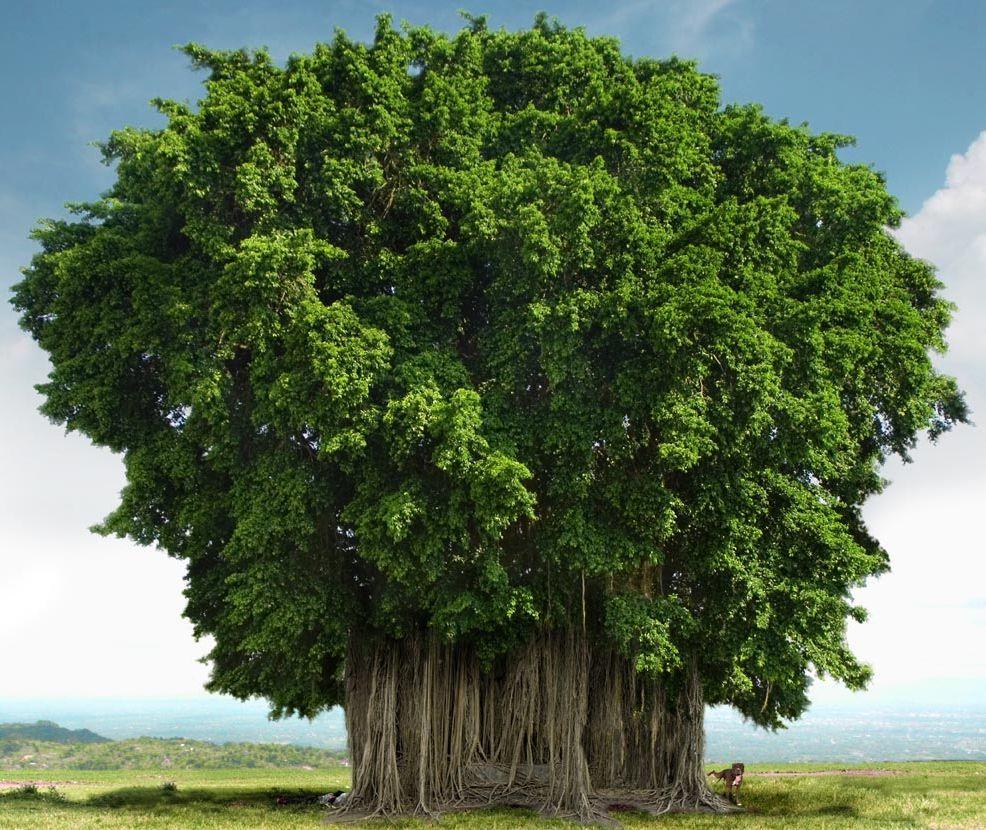 Le secret des arbres Les_plus_beaux_arbres_du_monde_bayan