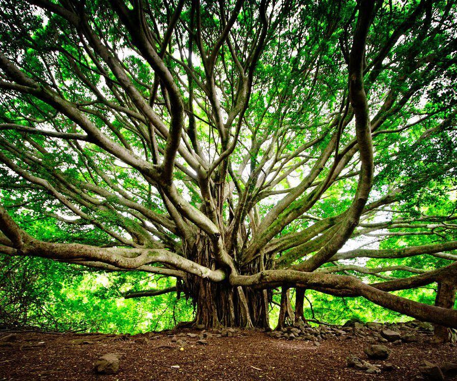 L'Énergie des arbres - Page 4 Les_plus_beaux_arbres_du_monde_hawai_bayan_tree