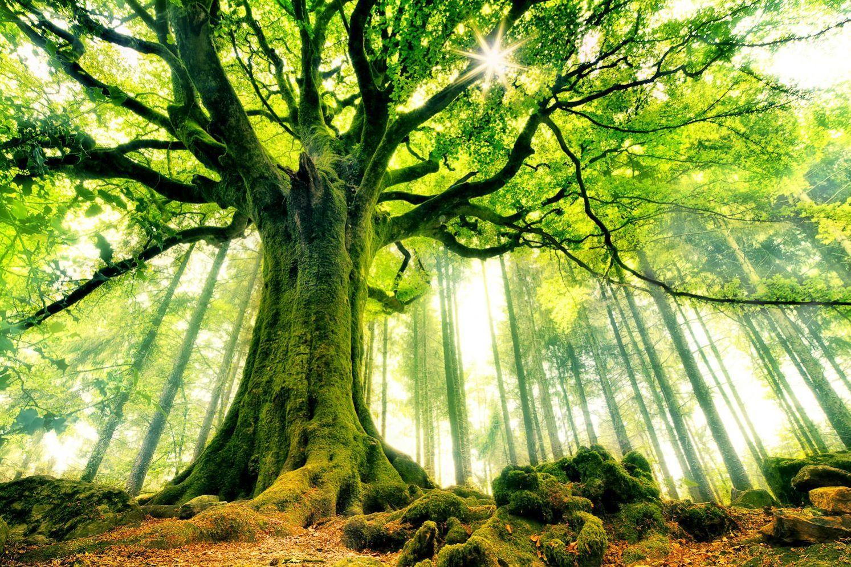 L'Énergie des arbres - Page 4 Les_plus_beaux_arbres_du_monde_hetre_de_ponthus
