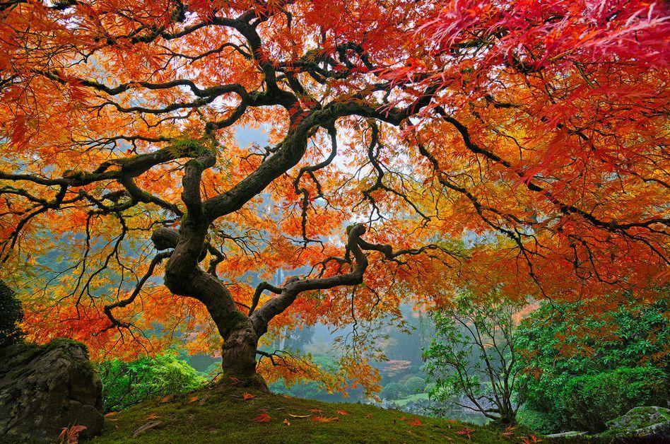 Le vivant, c'est trop cool ! (faune, flore, etc.) Les_plus_beaux_arbres_du_monde_oregon_portland_jardin_japonais