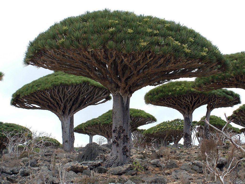 Le vivant, c'est trop cool ! (faune, flore, etc.) Les_plus_beaux_arbres_du_monde_yemen_socotra_island_dragon_blood