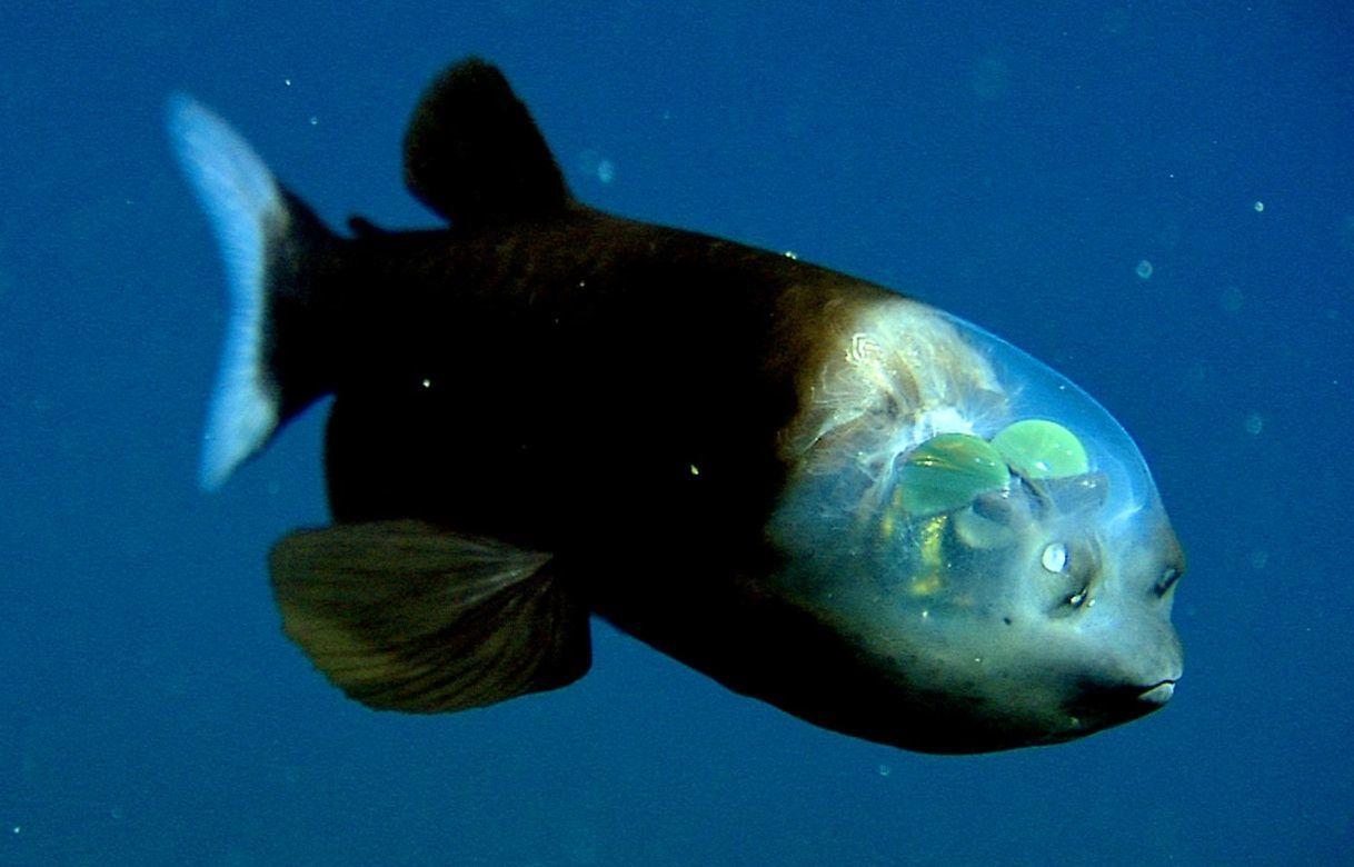 photos rares Animaux_rares_barreleye_fish