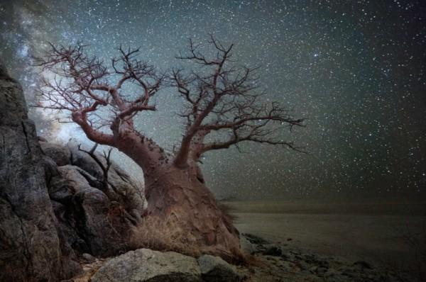 Le fil du partage  - Page 6 Arbres-les-plus-vieux-afrique-constellation-lyra-lyre-600x398