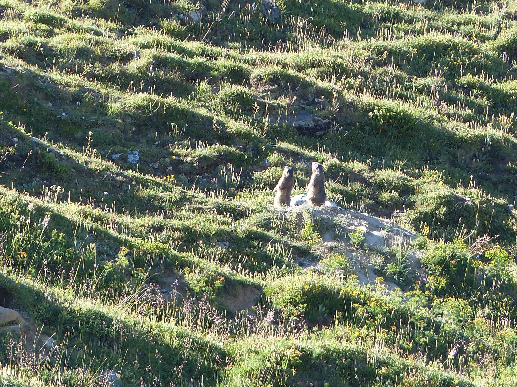 Quelques photos estivales, au pays des marmottes... Gallery_1137_2628_3922659
