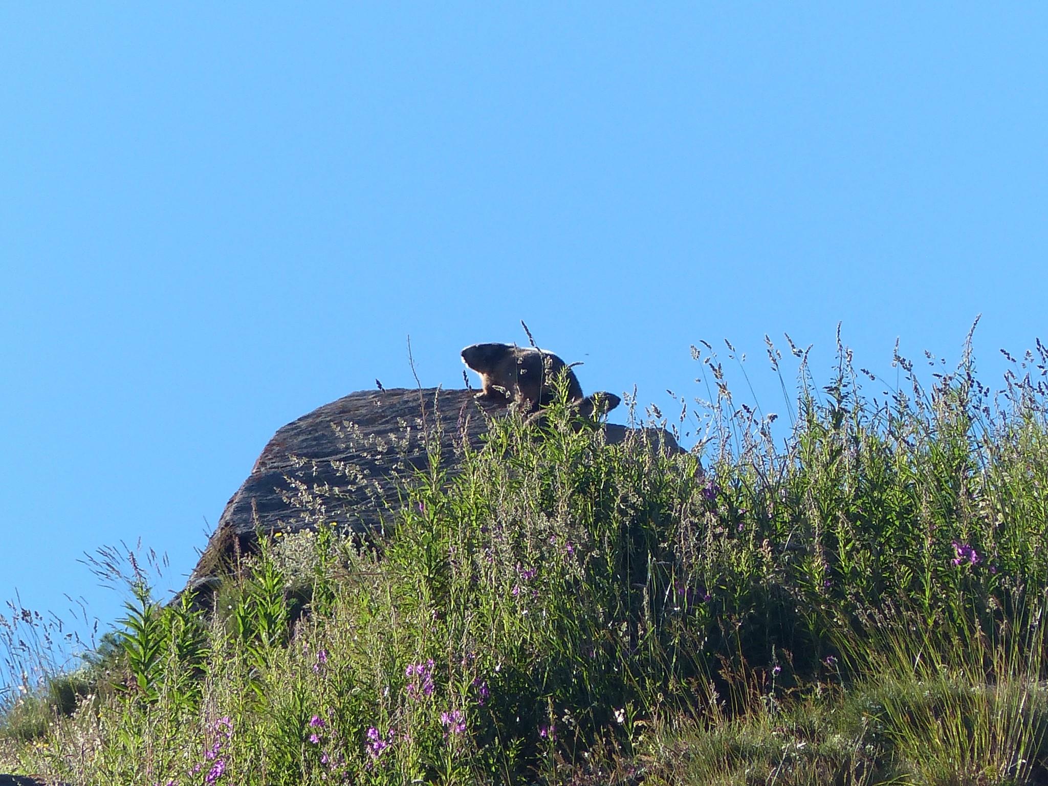 Quelques photos estivales, au pays des marmottes... Gallery_1137_2628_4105957