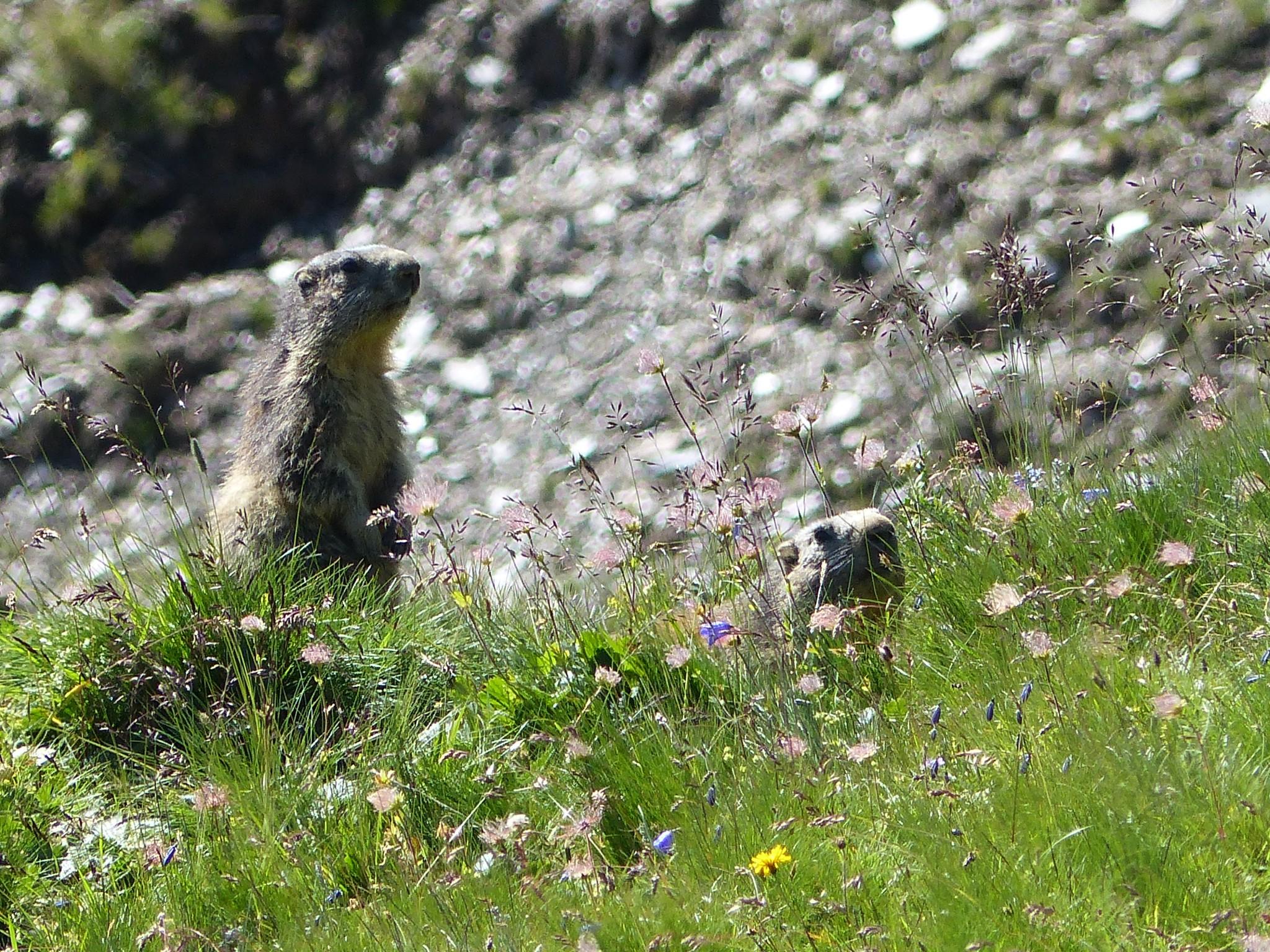 Quelques photos estivales, au pays des marmottes... Gallery_1137_2628_3445673
