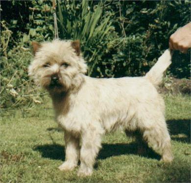 Cairn terrier Farfarsfar