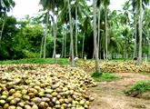 RENUKA AGRI FOODS PLC (RAL.N0000) - Page 9 I_coconut_plantation