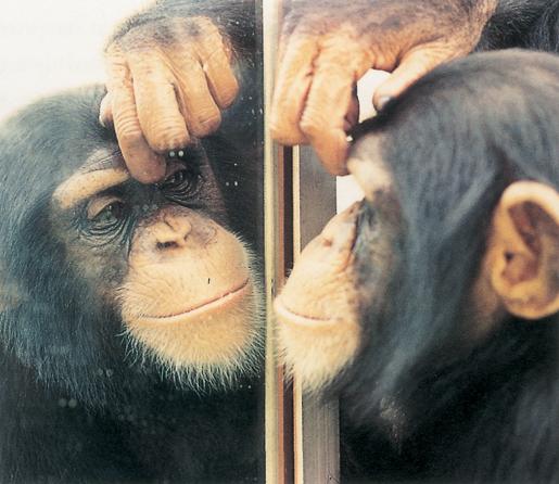 [Jeu] Association d'images Chimp-mirror2