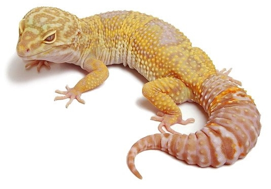 Gecko malade - Page 3 Reptilus-project-tremper-albino