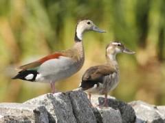 Patos do mundo Pato-de-collar-JST-2-12-e1328486968157-240x180