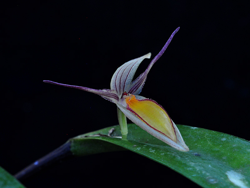 Miniatur-Orchideen Teil 5 - Seite 40 Pths_nuda