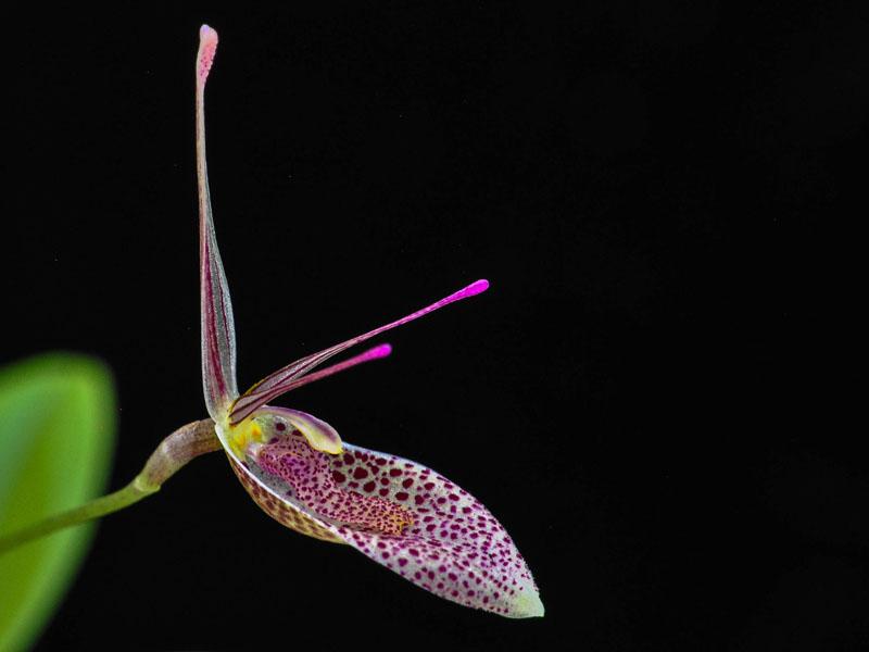 Miniatur-Orchideen Teil 6 - Seite 6 Restrepia_elegans