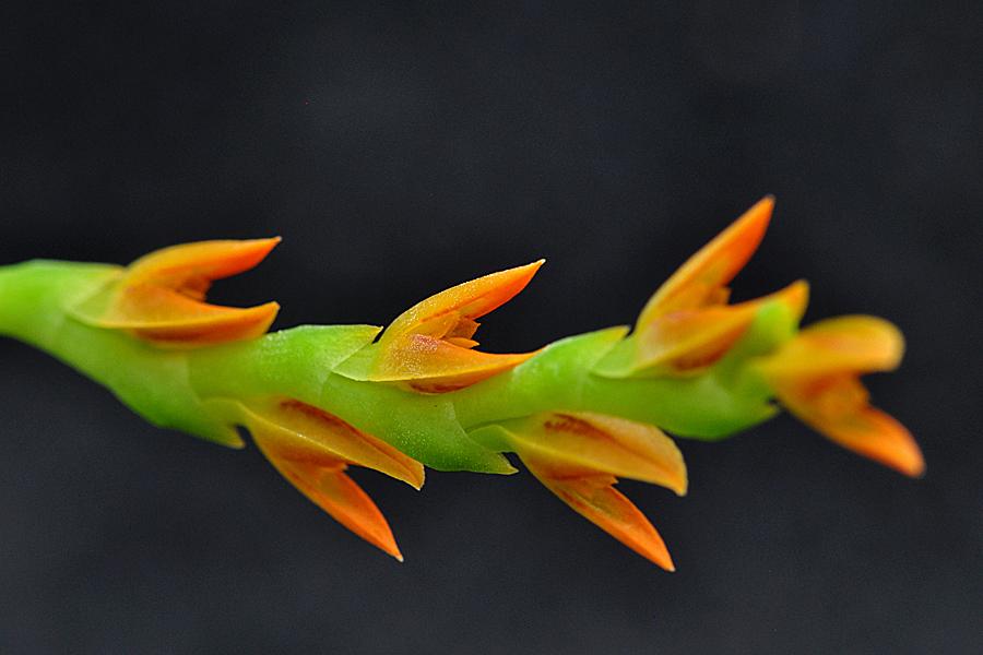 Miniatur-Orchideen Teil 5 - Seite 42 Pths_ochreata_200907