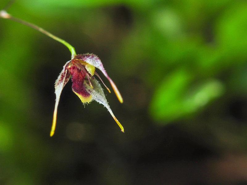 Miniatur-Orchideen Teil 6 - Seite 6 Pths_schudeli