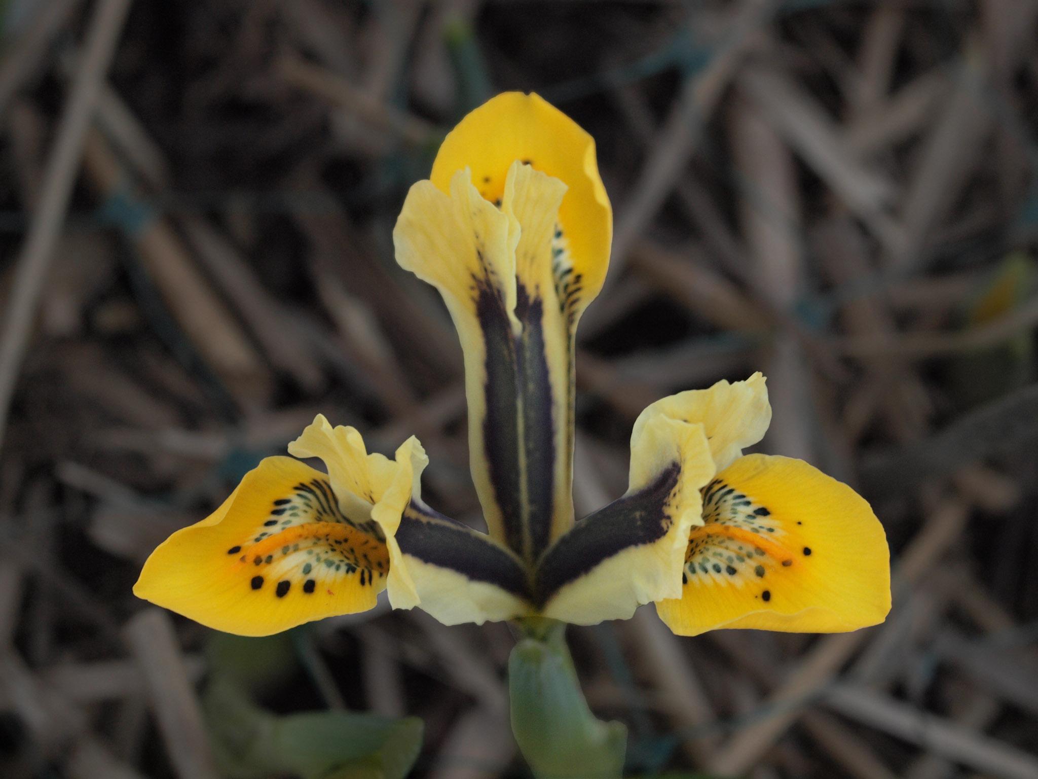 Iris reticulata 98-OO-1%20P4048775KnockD