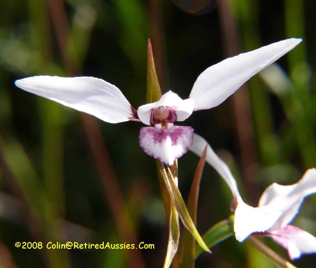 Checklist des orchidées terrestres d'Australie - Page 2 Diuris%20alba%20P1220313