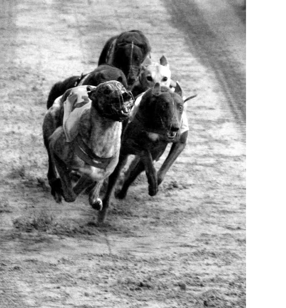 Prohibición de las carreras de Galgos Pasion_galguera_der_5