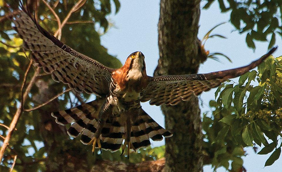 Falconiformes. Família  Acciptridae - Subfamília Buteonidade- Gaviões de penacho. genêro SPIZAETUS 03-f01-thor-Ornate-Hawk-Eagle