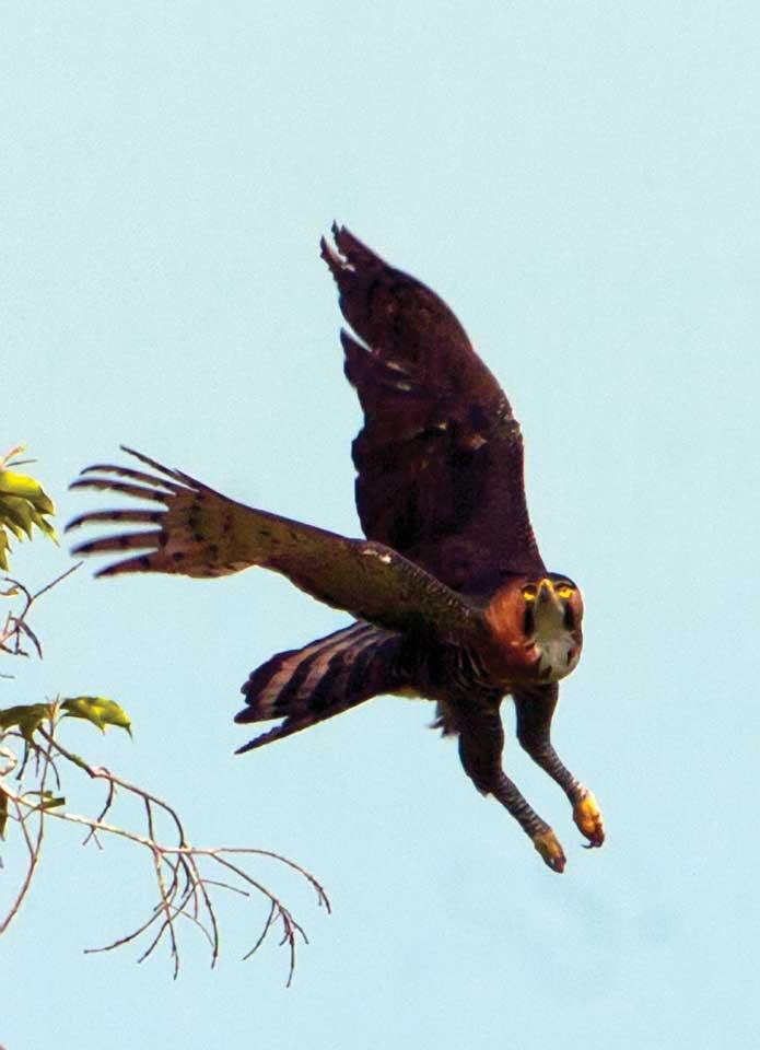 Falconiformes. Família  Acciptridae - Subfamília Buteonidade- Gaviões de penacho. genêro SPIZAETUS 03-f02-thor-_ornate-turning