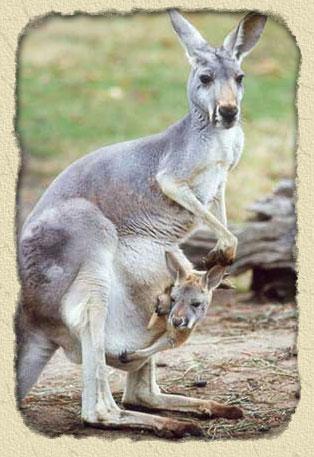 المخلوق الذي لايشرب الماء مطلقا واذا شربها مات Kangaroo-bg