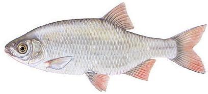 Crvenperka - Scardinius erythrophthalmus Riba-14