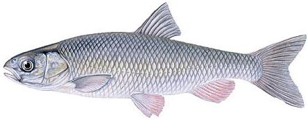 Mlyshi (Leuciscus cephalus) Riba-21