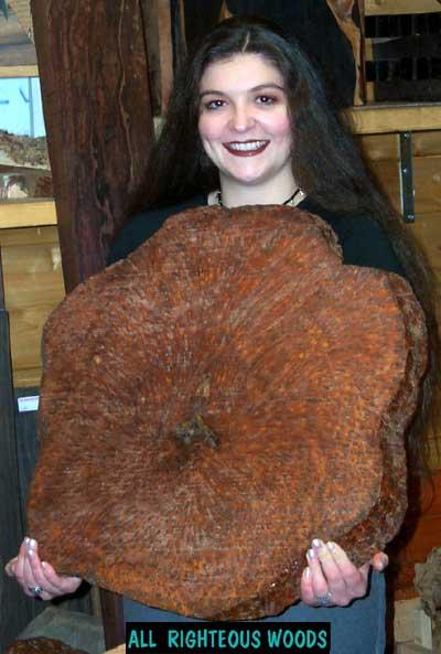 """Por que a inexistência de """"burl"""" em madeiras brasileiras? BG_Thuya_7_Spotted"""