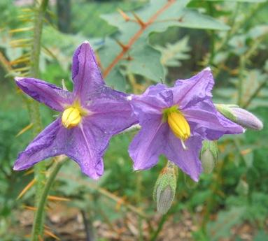 Une plante - 8 janvier - ajonc trouvée par Martine SolanumPyracanthos060722