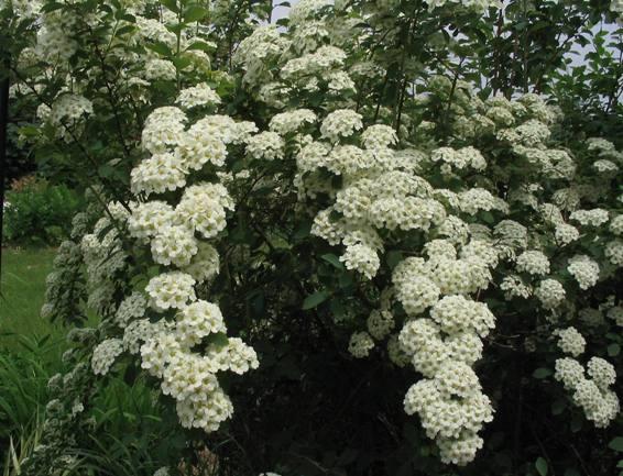 ¿Qué arbusto? SpiraeaVanhouttei040514