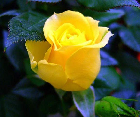 Bienvenidos al nuevo foro de apoyo a Noe #318 / 26.04.16 ~ 07.05.16 - Página 6 Imagini-tradafir-poze-trandafiri_13-mic