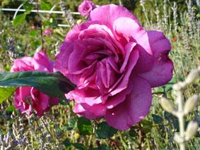 Quelques conseils pour débutantes: ( jardinage ) - Page 4 Grandes-fleurs-chartreuse-parme